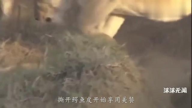 狮子不愧是群体捕猎能手,三下五除二,剥掉了鳄鱼皮享用美餐|群体构建