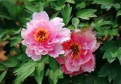 象征富贵生财的植物(三)——牡丹、忍冬、荷包花