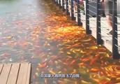 这种怪鱼入侵加拿大,比亚洲鲤鱼更泛滥,中国吃货也无能为力