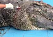 厦门:游客用石头砸伤动物园鳄鱼 蓄意伤害濒危物种或被追责