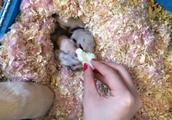 婴儿仓鼠争夺食物