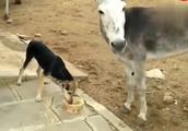 汪星人一直霸占着食物不让驴吃,太暖心了