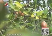 江西·绿海茶油:潜心孕育滴滴不易