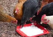 快来围观:鸡吃不吃酸奶呢?这个视频告诉你答案