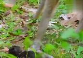 可怜的小猴趴在地上不停的哭泣,这是发生了什么事情呢