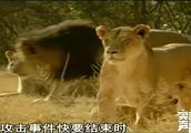 狮群一般都会在狩猎后争斗,受伤的狮子可能就会伤人!