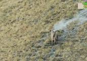 高加索野山羊的争斗,这一不小心就是粉身碎骨!镜头拍下全过程