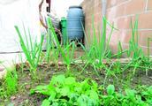 美国华人居民节水有新招 趁雨季存雨水种菜