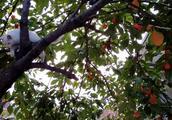 农村婆婆摘了柿子,让金毛狗狗给邻居送去,一路小跑很积极