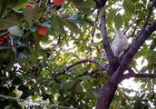 农村婆婆摘了柿子,让金毛狗狗给邻居送去,一路小跑很积极-