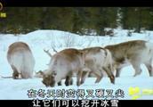 在北极苔原恶劣的环境中,生活着一群生物,它也是圣诞老人的坐骑