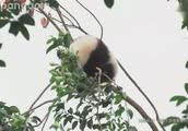 树上的熊猫果什么时候掉下来呢?珍喜:吹啊吹啊,我的骄傲放纵