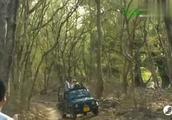 森林之王老虎在领地发现花豹,花豹被吓到树上瑟瑟发抖