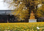 中国最美银杏树,1400年前李世民亲手所栽!