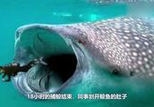 被鲸鱼活吞后,还能从它肚子里成功逃脱吗?逃出来还能存活吗?