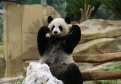 「大熊猫」欢欢玩雪敷脸,圆梦专心挖煤,这自来卷怎么像小抹布
