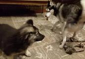 德牧挑衅小型犬被吼,最后还被哈士奇责骂,狗生不要太艰难