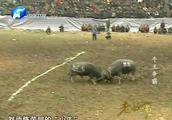 """牛王争霸3:获得十几次牛王的""""擎天柱"""",却被一头小牛打败了"""