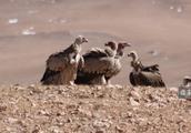 西藏的鸟真的好大,伸开翅膀一两米