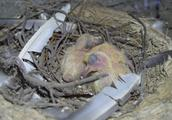 农村小伙新增2只小鸽子,趁母鸽子不在偷拍一下,小小的萌萌的