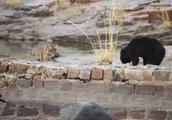 懒熊不听老虎警告,跟大猫对峙,一场大战不可避免