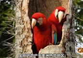 野生的金刚鹦鹉的老巢,看似简陋实则暗藏玄机!