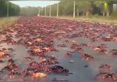 男子去澳洲旅游 没想到满街的红蟹泛滥 吓得他赶紧开车压了过去