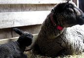 看孩子领小羊宝宝外出散步的羊妈妈和它的孩子小萌羊宝宝