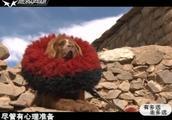 这只藏獒身价过百万?纯种喜马拉雅藏獒长啥样?为何给藏獒带围脖