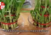 原来养富贵竹时,水里加点它,保证叶子油绿,不停窜新芽