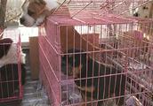 美国恶霸犬和斯塔福梗聚在了一个笼子里,你更喜欢哪种狗狗?