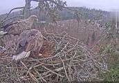大树上老鹰搭上一个鸟巢,真是空中别墅!