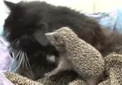 猫妈妈爱心泛滥,收养了8只小刺猬,每天哺乳喂养刺猬宝宝
