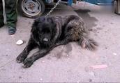 女士看上了这条高加索犬,主人说这狗从齐齐哈尔运来的,价格昂贵