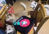主人制作视频,三只中华田园犬强势围观,原来视频里有老朋友