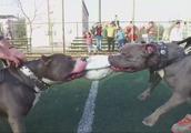 两只强壮的斗牛犬争夺足球,看谁的咬合力更强,白色狗狗观战