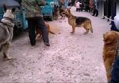 庙会上,养狗专业户正在训练德国牧羊犬,狼青金毛都服从主人管教