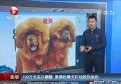 100万元买只藏獒,竟是松狮犬打硅胶伪装的
