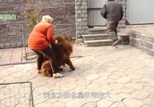 中国藏獒PK美国恶霸犬,谁能更胜一筹
