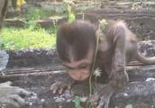可怜的小猴子艾登的手没有肿起来,但抓不到这么可怜