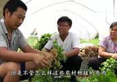 """农民地里""""金豆子"""",40亩每年纯收益60万,你家乡有人种植吗?"""