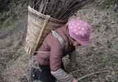农村不通天然气,只能靠捡柴火煮饭,看到奶奶这样背柴真心疼!