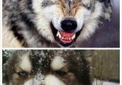 9张图告诉你哈士奇和狼的区别,看完笑弯了!