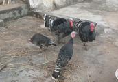 你们见过这种鸡吗?长得也太奇葩了吧!应该价格不菲
