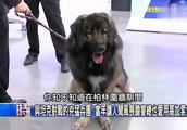 比特犬什么的都要靠边站,能秒杀藏獒!斯大林最爱的巨兽高加索犬