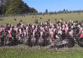 这次算见识了什么叫一呼百应,小哥吼一声,一大群火鸡跟着叫