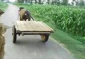 牛丢下主人,拉着牛车跑得飞快,主人骑上摩托车才追上