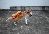 哈士奇被主人强迫穿新衣服 简直就是条行走的热狗