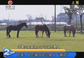 """上海:九匹骏马在公路上""""撒欢"""""""