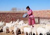 羊价格上涨后劲十足,中国羊肉恐缺口30万吨!